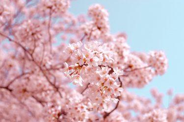 暖冬がもたらすお茶への影響(桜の休眠打破からの考察)